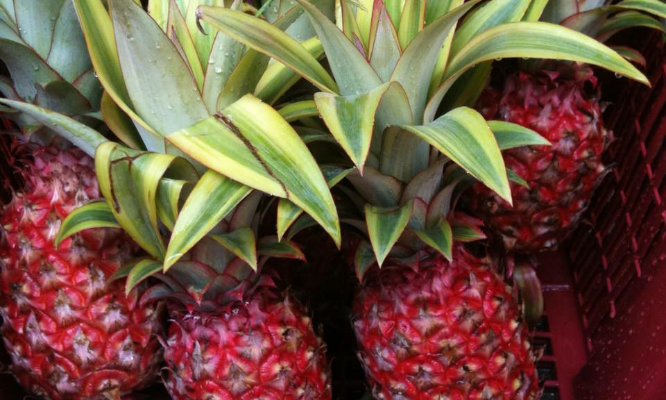 Red variegated pinapples in Malaysia